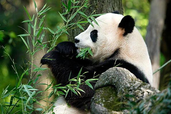 Giant Panda at National Zoo